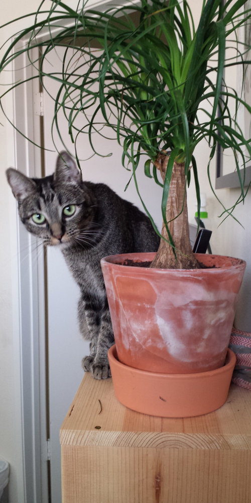 Cat sitting on top of a wooden book shelf peeking around a potted plant.